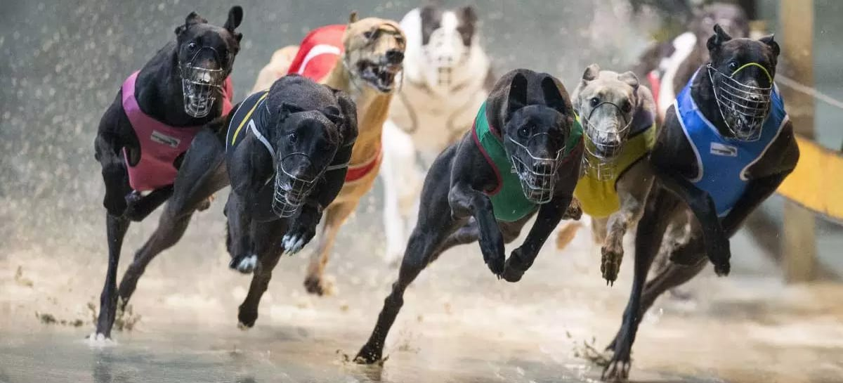 Greyhounds Betting